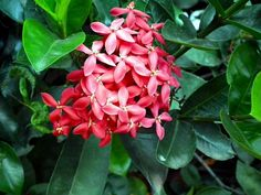 Ixora is a tropical to semitropical evergreen shrub. The plant is often grown as an annual in temperate and cooler climates. Get more growing info in this article.
