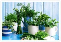 ervas-aromaticas como Plantar