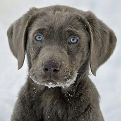 Blue Lab :0) I want!