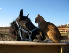 *Everyday the cat and the horse meet at the same spot on the ranch, greeting each other with head butts and giving each other bathes and love. This is an incredible friendship.