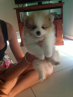 fluffy Pomeranian puppy held aloft