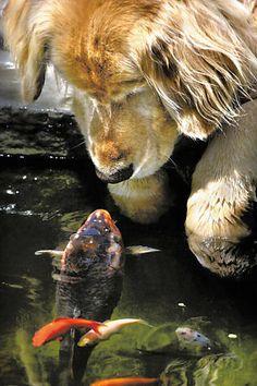 O cachorro golden retriever Chino e a carpa chinesa Falstaff desenvolveram uma curiosidade mútua que logo se transformou em parceria, segundo seus donos, um casal do Oregon, nos Estados Unidos. Os dois se encontravam diariamente na beira do lago que o casal possuía em casa e tocavam seus focinhos