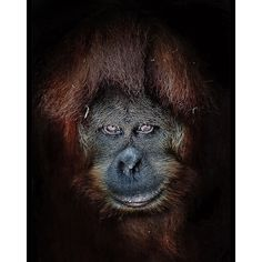 Suma the orangutan 97% Human: portraits of apes by Arthur Xanthopoulos  Melbourne Zoo is home a total of 320 animal species including six orangutans,   eight gorillas and many other primate species.   Since Australia's oldest zoo opened in 1892 it has launched international   campaigns to save the endangered orangutans of Borneo and the gorillas threatened   in the Democratic Republic of Congo.