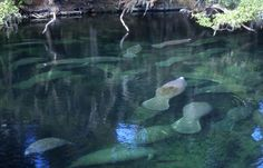Manatee Season at Blue Spring State Park http://visitwestvolusia.com/whattodo.cfm/mode/details/id/11211/blue-spring-state-park