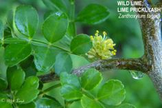 WILD LIME; LIME PRICKLYASH (Zanthoxylum fagara) | What Florida Native Plant Is Blooming Today?™