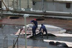 Island ulovil letošní první dva kusy plejtváka myšoka, které jsou určeny pro komerční vývoz do Japonska, a to i přes zákaz komerčního lovu velryb, který vyhlásila Mezinárodní velrybářská komise (IWC).  Více čtěte ►►► bit.ly/Greenpeace-kritizuje-obnoveni-komercniho-lovu-velryb-na-Islandu (c) Foto: Greenpeace