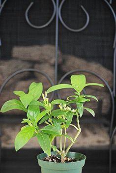 Jasmine-Night-Blooming-Plant-4-Pot-Tree-Garden-Home-New