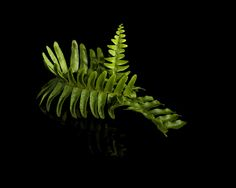 Fern by Thomas Hufer on Ferns, Still Life, Plant Leaves, Plants, Fern, Planters, Plant, Planting