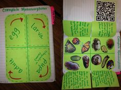 This is a complete metamorphosis foldable I created for my fifth graders.  The QR code is a short film clip showing time lapse insect metamorphosis