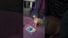 Rey the pug having fun
