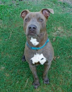 Meet Azul, an adoptable American Staffordshire Terrier looking for a forever…