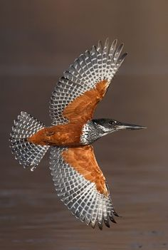 Giant Kingfisher in Flight