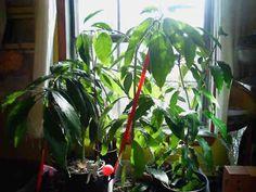 Avocatier à la fenêtre avec plein de feuilles
