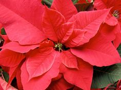 Poinsettia What could be lovelier than this festive Christmas plant? Poinsettias are so reminiscent of holiday good times it's easy to forget these beauties are also just as likely to make your