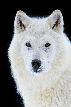 Jeff Wendorff Nature and Wildlife Photography Portfolio | Wolves - (Canis)
