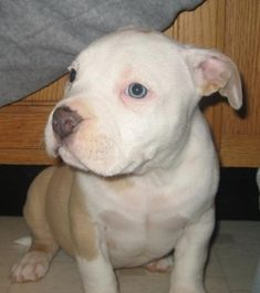 American Pit Bull Terrier Puppies | american pitbull terrier puppies for sale in michigan , amazon buy now ...