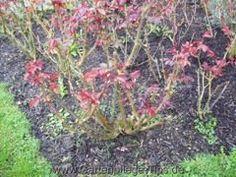 Gartenarbeiten: Rosenschnitt im Frühjahr