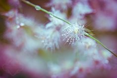 dew covered fluff by kelleyrie