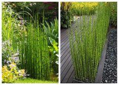 Ewquisetum Hyemales en bordes y cercos de jardin