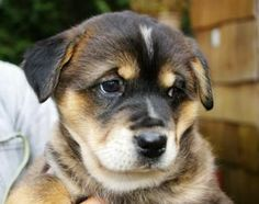 Sion is an adoptable Bernese Mountain Dog Dog in Victoria, BC. More info coming soon! Basic Info: 11 weeks old All 5 are females rescued from Northern BC large breed mix (guesses welcomed!) ready to b...