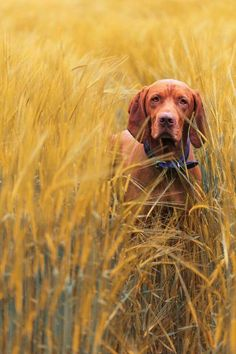 Topmodel by Christoph Eberl on Canon EOS… I Love Dogs, Cute Dogs, Wirehaired Vizsla, Vizsla Dog, Hungarian Vizsla, Mundo Animal, Weimaraner, Hunting Dogs, Dog Photos