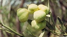 Desert Lime Fruit