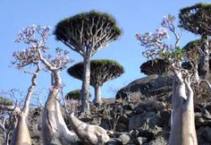 Strange trees of Socotra Island, Yemen.  Biologically isolated, one third of its plants are found nowhere else on Earth.  These are the umbrella-like dragon's blood tree (Dracaena cinnabari) and the pink-flowered bottle tree (Dorstenia gigas).