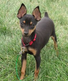 Teacup Miniature Pinscher Full