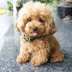 Top Teddy Bear Chubby Adorable Dog - db3fc4f05e1efe283f298eb226151a36--my-website-poodle  Perfect Image Reference_789425  .jpg