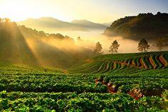 Strawberries plant Doi Ang Khang Chiang mai Thailand