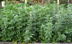 правила выращивания бобов