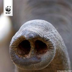 Schon gewusst? Afrikanische Elefanten besitzen mehr als doppelt so viele Gene für Geruchsrezeptoren wie Hunde – und sogar fünfmal mehr als Menschen! Und wisst ihr was sie tun, wenn sie in den Spiegel schauen?