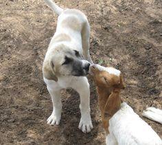 Anatolian Shepherds Kangal Dog, Anatolian Shepherd, Animal Kingdom, Cheetah, Homestead, Fur Babies, South Africa, Labrador Retriever, Friends