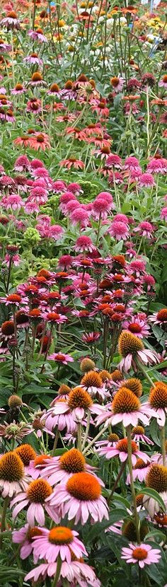 Wildflower Garden - Echinacea flowers - the officinalis goes on the Herb page, but the rest are decorative until proven otherwise:)