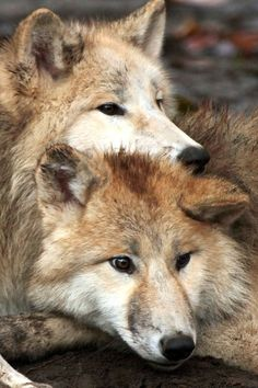 wolf_alphawolf