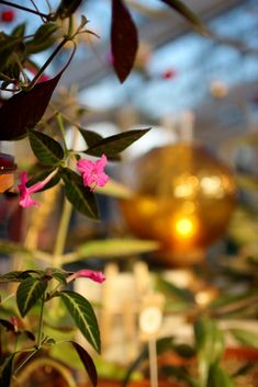 SATURDAY 1 DECEMBER 2018 A few sneak peeks of what you will find in the Greenhouse at our Christmas fair which starts at 10am today… Emmaus Christmas trees are now available in a selection of sizes. Pick up a bag of our popular Emmaus lavender, or perhaps take home a hand-tied bundle of Emmaus foliage, a bag of fir cones or a bunch of rosemary. You'll find pink and white poinsettias, Christmas gift baskets handmade by our team, cyclamen, hyacinths, plus a few festive surprises. Christmas Gift Baskets, Christmas Trees, Christmas Gifts, Fir Cones, Brighton And Hove, Greenhouse Gardening, Garden Shop, Poinsettia, Garden Inspiration