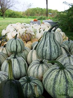 Pepin pumpkins...old heirloom variety from Baker Creek Seeds
