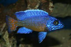 peacock cichlids - Google Search