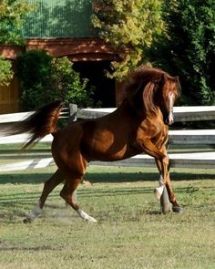 Chestnut Arabian stallion