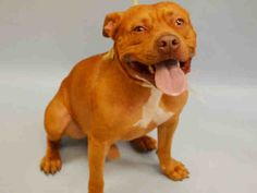 Manhattan Center CHAZ – A1044299 MALE, RED, AM PIT BULL TER MIX, 2 yrs OWNER SUR – PRE RTO, HOLD FOR RTO Reason ALLERGIES Intake condition UNSPECIFIE Intake Date 07/16/2015
