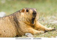 Funny yawning marmot on the meadow (Ladakh, India)