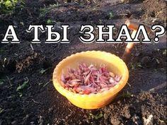 Хитрости посадки чеснока под зиму - YouTube