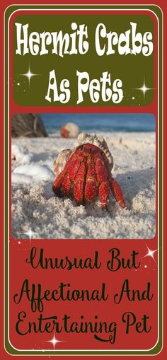 Hermit crabs as pets may seem unusual to some people but they are really popular and fun pets. Very affectionate and funny to watch. They are quite entertaining. But they are not for everyone, you actually make a commitment to these animals. They require