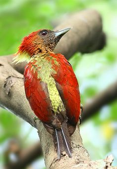 The banded woodpecker (Picus miniaceus) is a species of bird in the Picidae family. It is found in Brunei, Indonesia, Malaysia, Myanmar, Singapore, and Thailand.  Its natural habitats are subtropical or tropical moist lowland forests and subtropical or tropical mangrove forests.