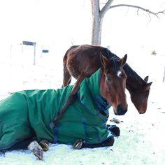 Reason 143 why Concordia is getting mom of the year 👐🏼 #junglegym #babyhorses #foalsofinstagram #warmblood #westfalen #twins…