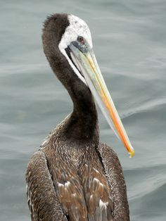 a pelican My Animal, Bird, Animals, Animales, Animaux, Birds, Animal, Birdwatching, Animais