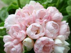 http://www.fuchsiahybrida.pl/sklep/pelargonia_tulipanowe/213_pelargonia_marbacka_tulpan