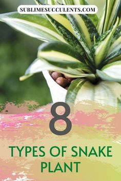 Whether you already have Snake Plants in your collection, or are considering your options, you have plenty of plants to choose from. Here are Sansevieria types that every Snake Plant lover should consider. #snakeplant #indoorgardening #outdoorgardening #gardeningtips #sansevieria Container Plants, Container Gardening, Gardening Tips, Indoor Gardening, Cacti And Succulents, Cactus Plants, Outdoor Landscaping, Outdoor Gardens, African Spear