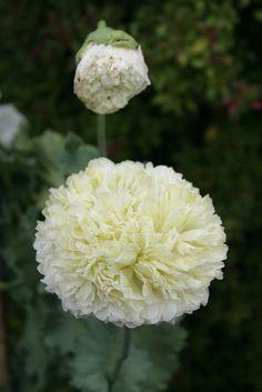 Papaver somniferum 'Golden Peony' (Opium Poppy) I love this!!