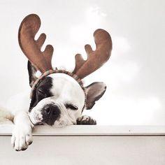'Santa's little helper is pooped', French Bulldog in Reindeer Antlers.
